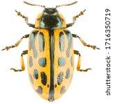 Leaf Beetle Chrysomela...