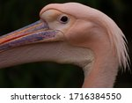 The head of a pink pelican