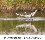 Little Egret Getting Ready To...
