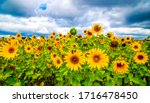 Sunflower field nature scene....