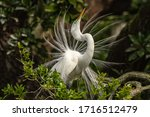 Great Egret In Breeding Display.