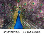 Elegant Colored Peacock With A...