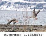 Flying Gray Goose   Norway...