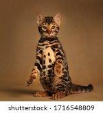 Beautiful Bengal Cat Posing On...
