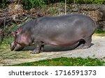 Hippopotamus Eats Hay In Its...