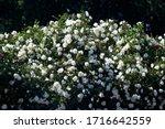 A Lush Green Rose Bush Strewn...