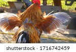Colorful Rooster Spreading His...