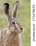 Stock photo portrait of a hare in the wild 171678653