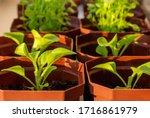 Young Flower Seedlings In...