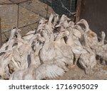 Many ducks in duck farm. people ...
