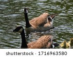 Two Canadian Geese With Their...