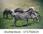 Large Grevy's Zebras Are An...