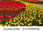 Beautiful Red And Yellow Tulips ...
