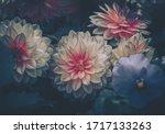 Dahlia Flowers  Nature...