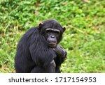 A Immature Male Chimpanzee...