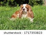 cute cavalier king charles... | Shutterstock . vector #1717353823
