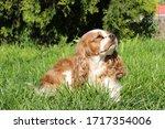 cute cavalier king charles... | Shutterstock . vector #1717354006