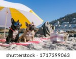 French Bulldogs At The Beach ...