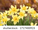 Flower Bed Of Daffodil Flowers.