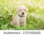 Adorable Labrador Retriever...