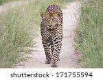 Big Male Leopard Walking In Path