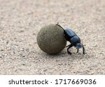"Small photo of Dung beetle species (Scarabaeus winkleri) Rolling a piece of dung. Dung beetles or ""rollers"" roll dung into round balls, which are used as a food source or breeding chambers"
