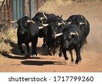 Spanish Black Bull Running On...