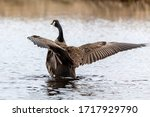 Canada goose on the lake. Natural scene from state conservation area.