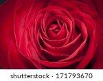 Single Beautiful Red Rose Detail