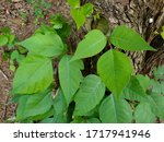 A Healthy Vine Of Poison Ivy ...