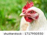 Free Range Chickens Are...