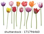 Colorful  Tulips Flowers In A...