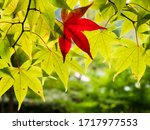 One Red Maple Leaf Amidst Gree...