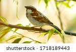 Sparrow  House Sparrow   Passe...