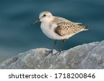 Sanderling Standing On The Top...