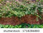 Big Rose Bush On Old Brick Wall ...