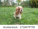 cute cavalier king charles... | Shutterstock . vector #1718479750