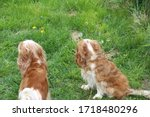 two cute cavalier king charles... | Shutterstock . vector #1718480296