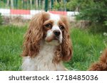 two cute cavalier king charles... | Shutterstock . vector #1718485036