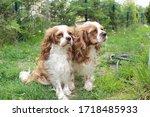 cute cavalier king charles... | Shutterstock . vector #1718485933