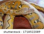Albino Reticulated Python....