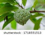 A Pale Green Raw Sugur Apple...
