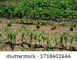 Home Vegetable Garden On A...