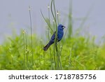 Blue Grosbeak Clinging To Reeds ...