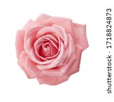 Beautiful pink rose isolated on ...