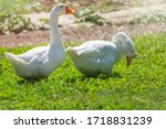 Two White Geese Eating On The...
