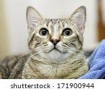 european tabby kitten | Shutterstock . vector #171900944