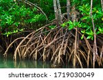 Mangrove trees in mangrove forests with twig roots grow in water.