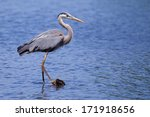 Great Blue Heron Fishing In A...
