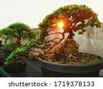Small Bonsai Tree Premna Taiwa...